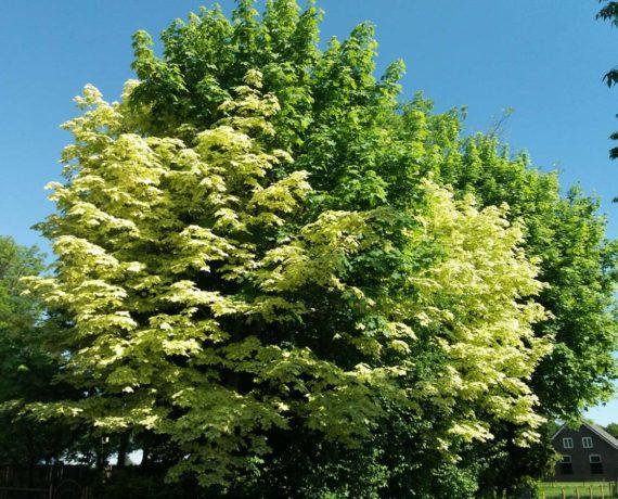Der Spitz-Ahorn – Acer platanoides