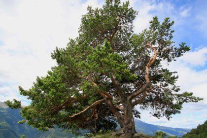 Die Zirbelkiefer –  Pinus cembra
