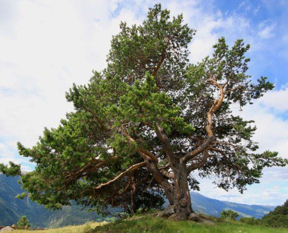 Die Zirbel-Kiefer – Pinus cembra