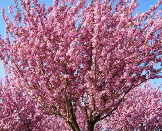 Die japanische Blütenkirsche –  Prunus serrulata