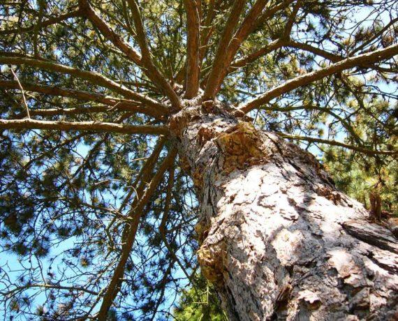 Die Kiefer – Baumporträt
