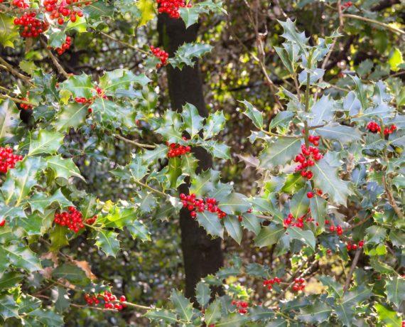 Die Stechpalme –  Ilex aquifolium