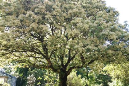 Die Blumen-Esche – Fraxinus ornus
