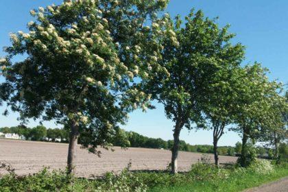 Die Eberesche –  Sorbus aucuparia