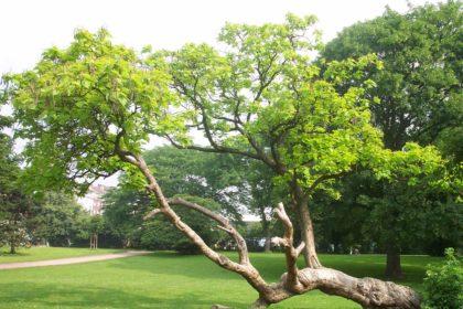 Der Trompetenbaum –  Catalpa bignonioides