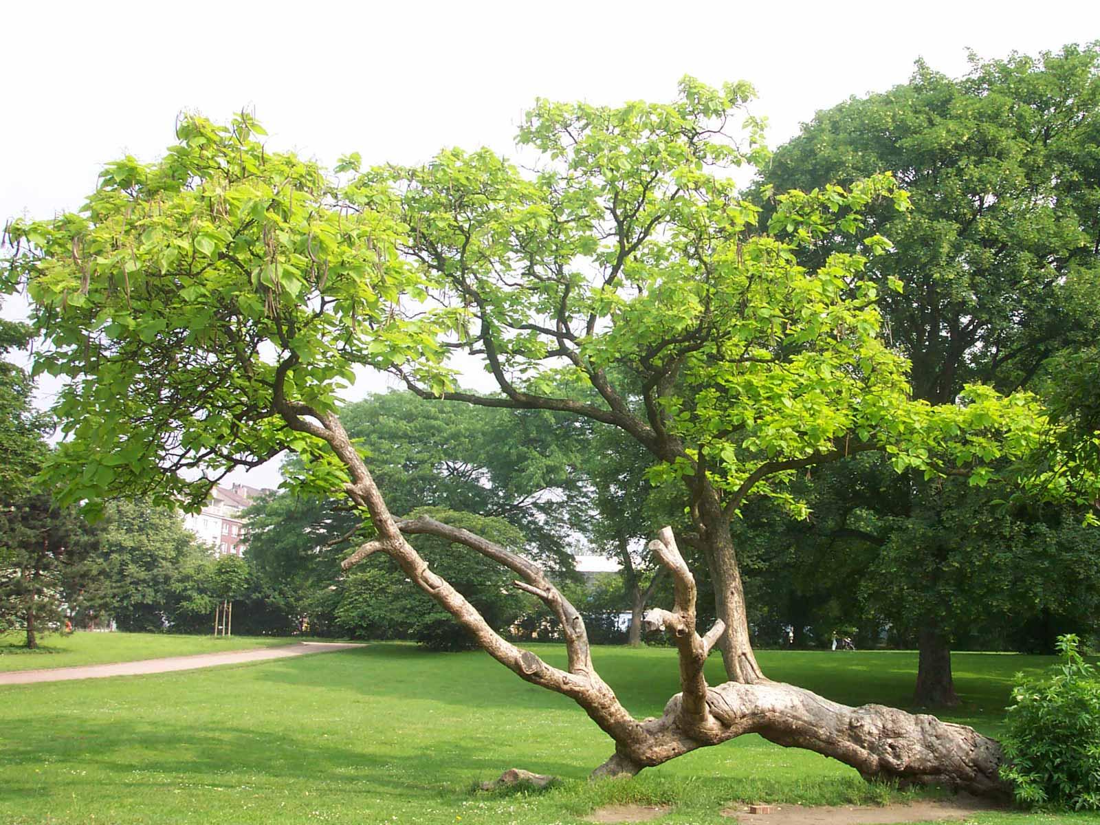 Trompetenbaum | Catalpa bignonioides