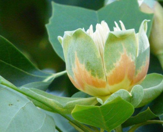 Der Tulpenbaum – Liriodendron tulipifera